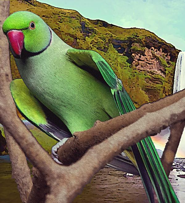 indianringneckparakeet3B_600w.png